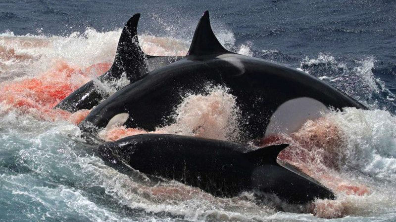 Killer whales are killing great whites off Cape Town
