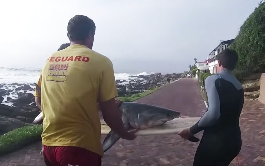 Baby Great White Shark Saved By Surfers