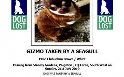 Gizmos gone – Seagull carries off miniature chihuahua.