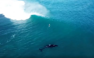 Humpback Whale Plays in the Surf with Surfers and Dolphins!
