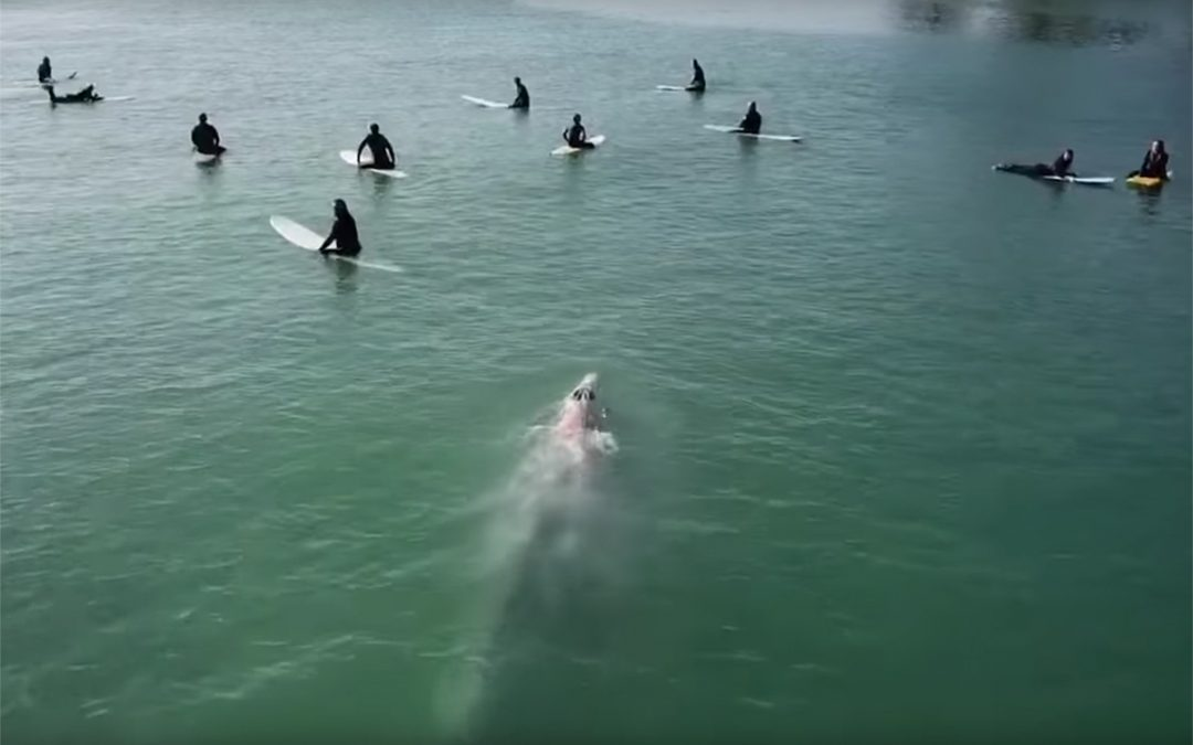 Beautiful footage as surfers share waves With Gray Whale.