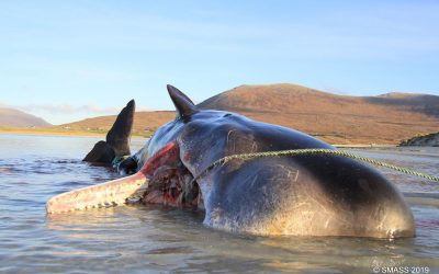 Sperm whale dies with 100kg of plastics and litter in stomach