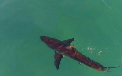 Great Whites Circles Surfers