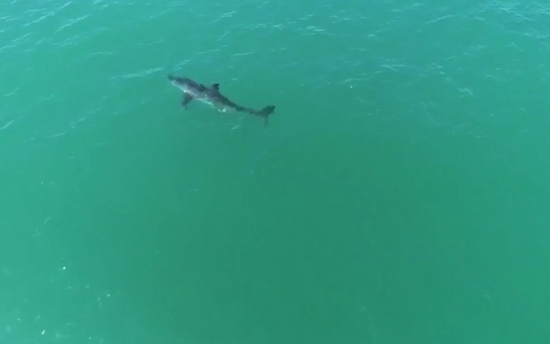 Great White Shark Sprints!
